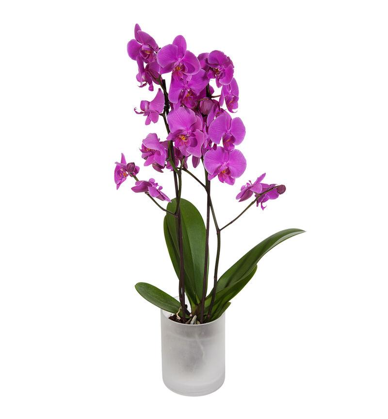 Lilla orkidé i glasspotte image number null
