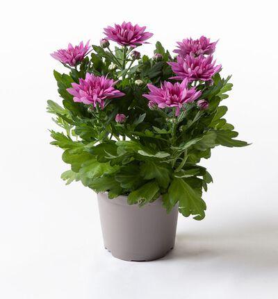 Rosa krysanthemum