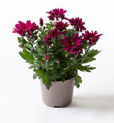 Lilla krysanthemum