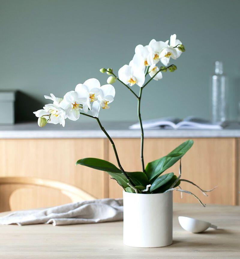 Hvit orkidé to-grenet image number null