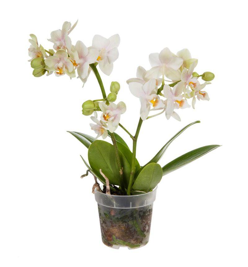 Hvit midi orkidé image number null