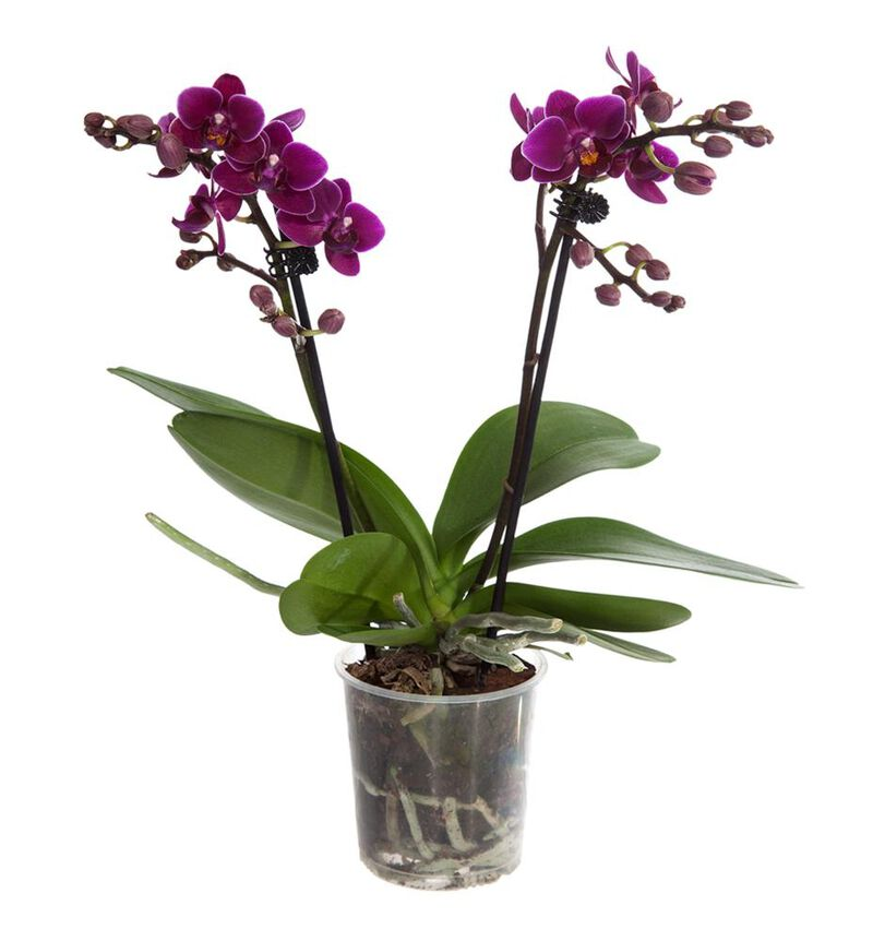Lilla midi orkidé image number null