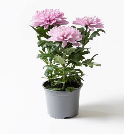Krysantemum Candy rosa