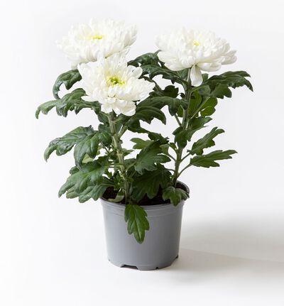 Krysantemum Candy hvit