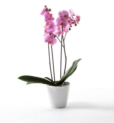 Rosa orkidé i hvit potte