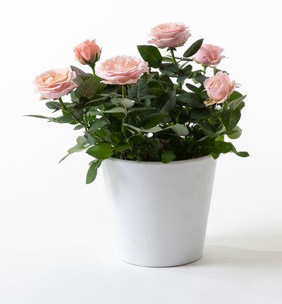 Rosa potterose i hvit potte