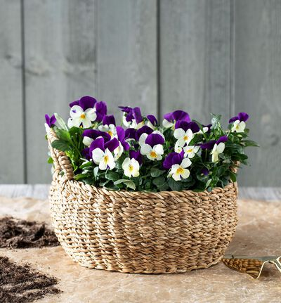 Viola cornuta i skål