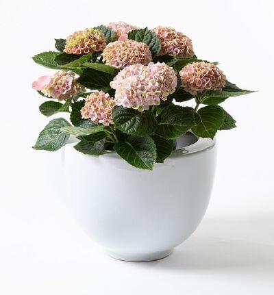 Rosa hortensia i potte