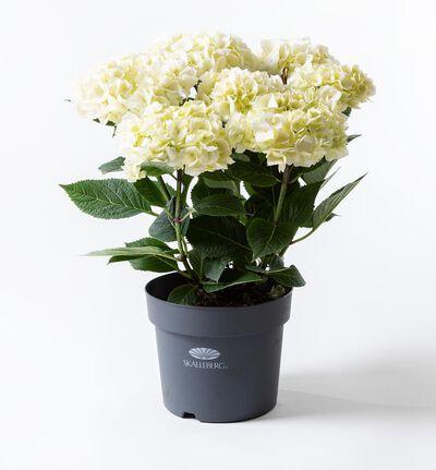 Hortensia busk hvit