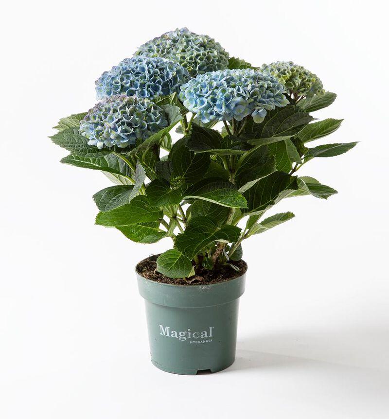 Blå Hortensia magical image number null