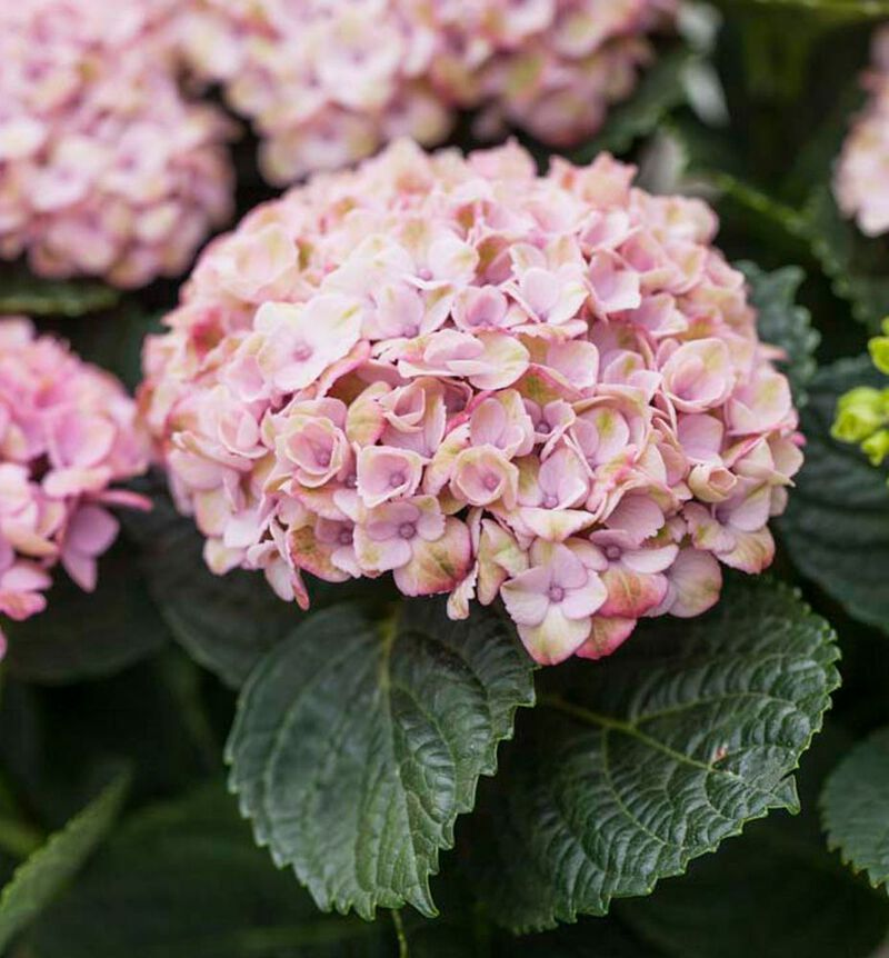 Rosa Hortensia image number null