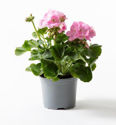 Pelargonium zonale rosa