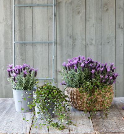 Lavendel  'Butterfly' stor