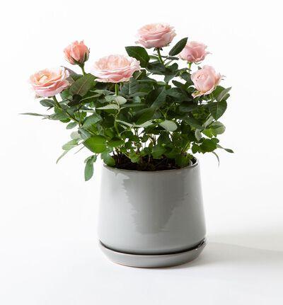 Rosa potterose i grønn potte