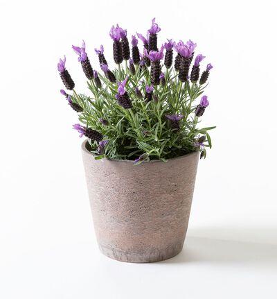 Lavendel i Tidløs potte