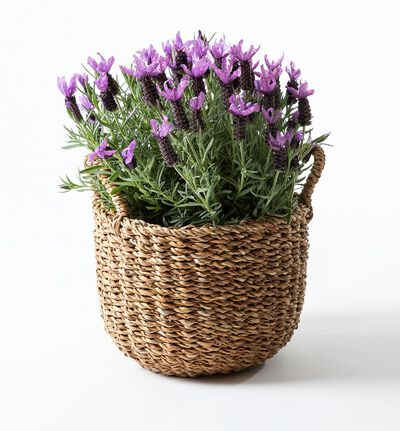 Lavendel busk i kurv