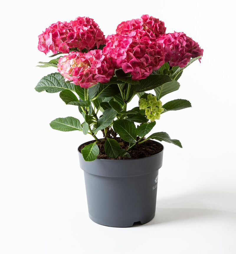 Hortensia busk rosa image number null