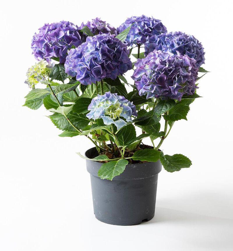 Hortensia busk blå image number null