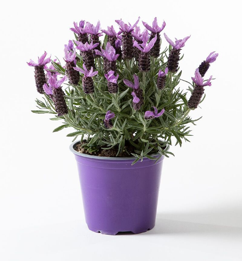 Lavendel Butterfly image number null