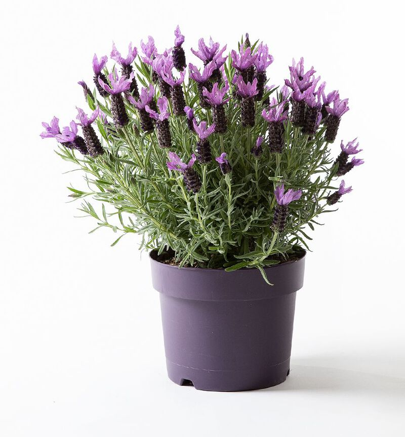 Lavendel  'Butterfly' stor image number null
