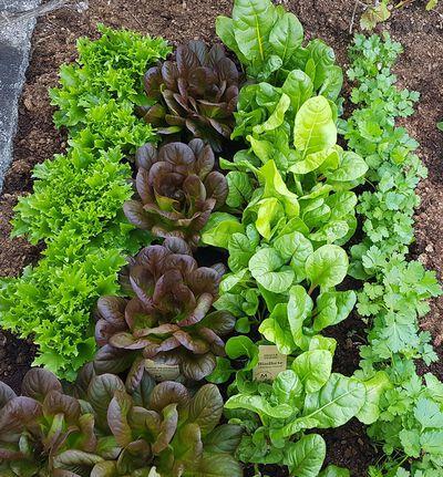 Salat Multileaf 6 pk