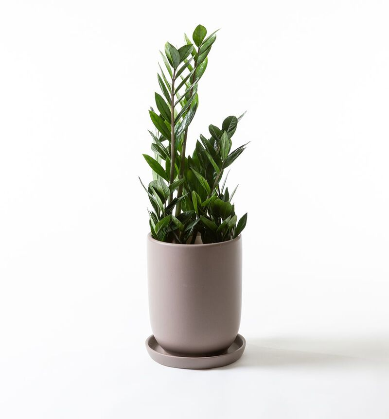 Zamioculcas i Cashmere potte image number null