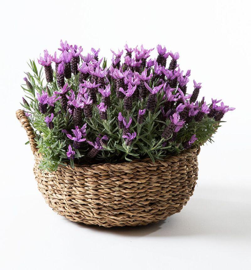 Lavendel i kurv image number null