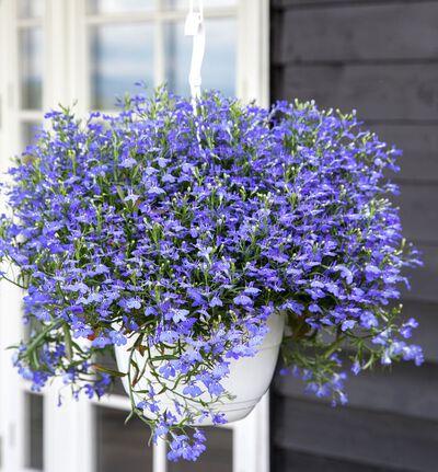 Lobelia ampel blå