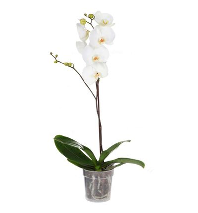 Hvit orkidé