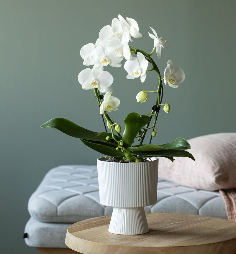 Hvit orkidé på bøyle image number null
