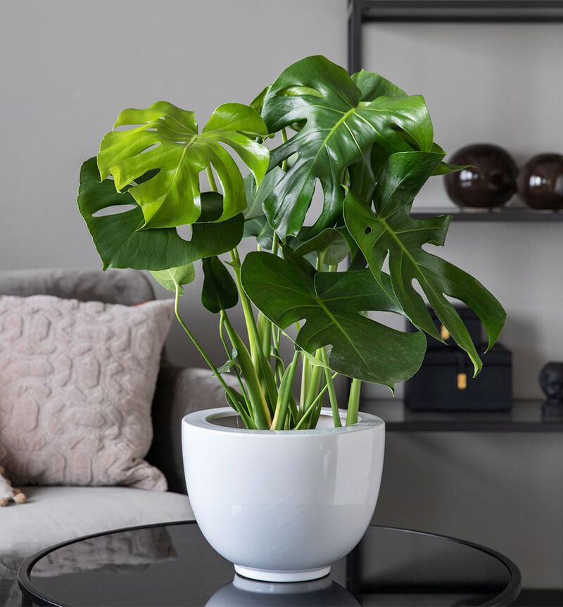 Monstera  image number null