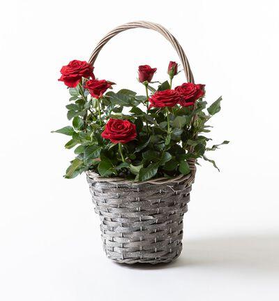Røde roser i kurv