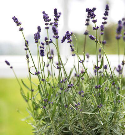 Lavendel 'Hidcote'