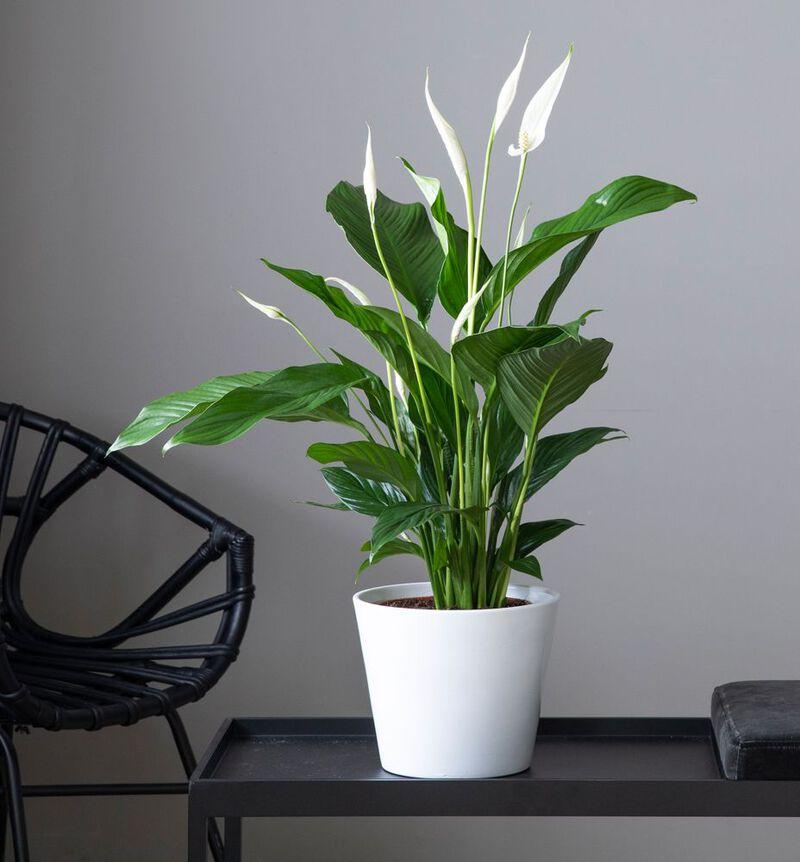 Medium lettstelt plantepakke  image number null