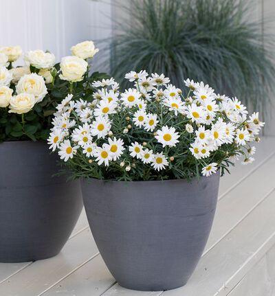 Hvit Margeritt busk