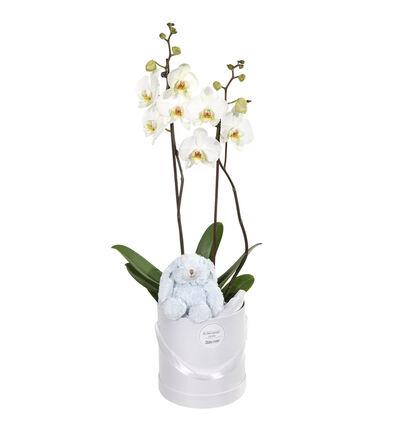 Orkidé i gaveeske med blå bamse