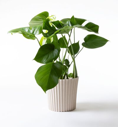 Monstera i hvit Skagen potte