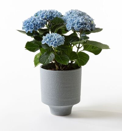 Blå hortensia i blå potte