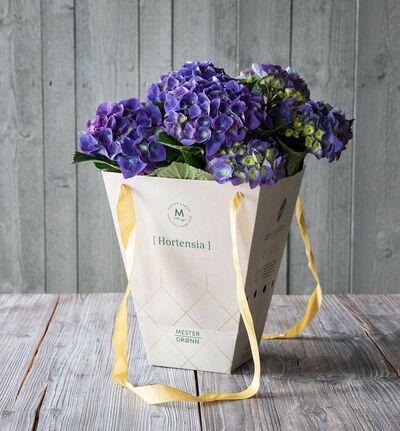 Blå hortensia i gavebag