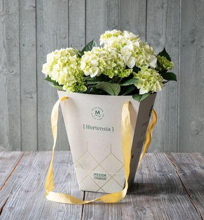 Hvit hortensia i gavebag