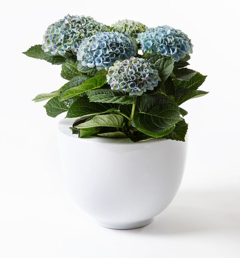 Blå hortensia i potte image number null
