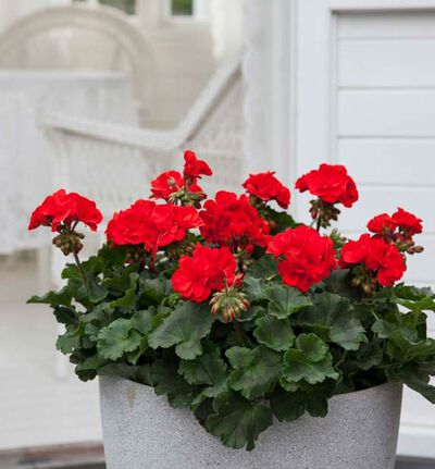 Brett med røde pelargonia