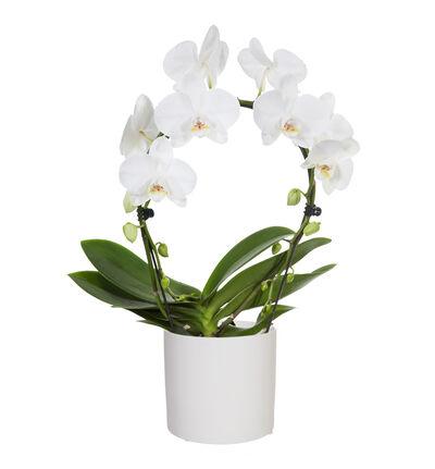 Hvit orkidé på bøyle i potte