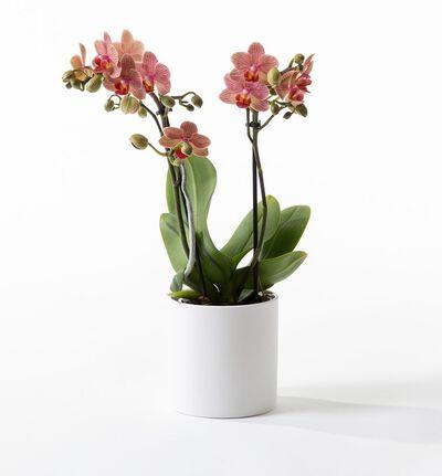 Gyllen midi orkidé i potte