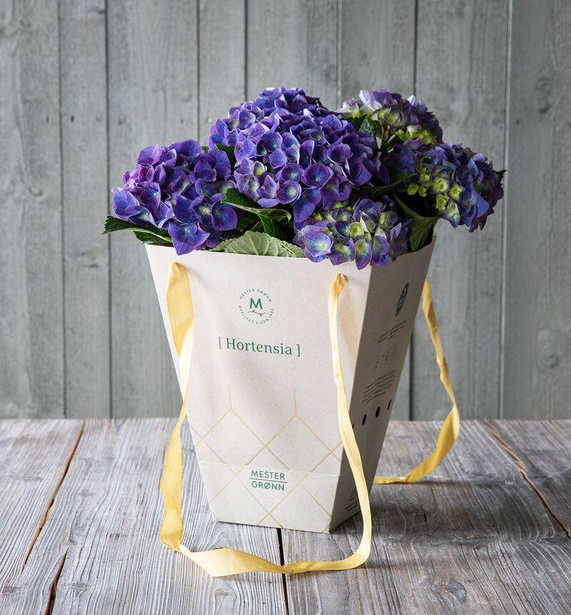 Blå hortensia i gavebag  image number null