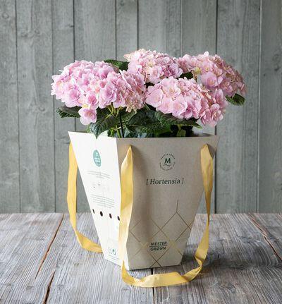 Rosa hortensia i gavebag