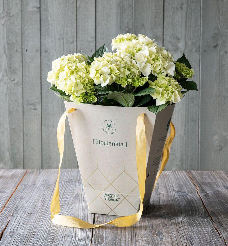 Hvit hortensia i gavebag image number null