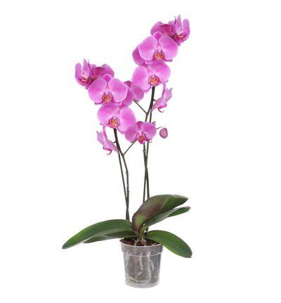 Lilla orkidé