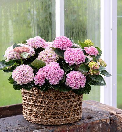Rosa Hortensia magical