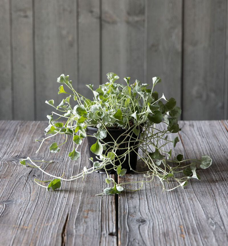 Dichondra Silver Falls image number null